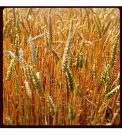 French Fields of Gold