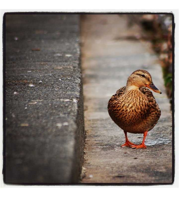 The Duck Path